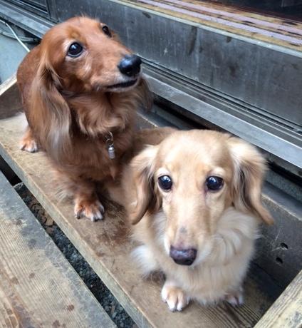 犬のペットホテルPooch マロン&ぺりえちゃんの写真