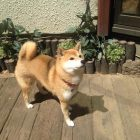 犬の保育園,一時預かり,ペットホテル,しつけ,トレーニング:犬のペットホテルPooch りんちゃんの写真