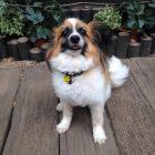 犬の保育園,一時預かり,ペットホテル,しつけ,トレーニング:犬のペットホテルPooch れおんちゃんの写真