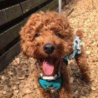 犬の保育園,一時預かり,ペットホテル,しつけ,トレーニング:犬のペットホテルPooch モコちゃんの写真