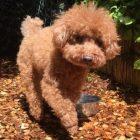犬の保育園,一時預かり,ペットホテル,しつけ,トレーニング:犬のペットホテルPooch マルフィちゃんの写真
