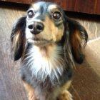 犬の保育園,一時預かり,ペットホテル,しつけ,トレーニング:犬のペットホテルPooch ベルちゃんの写真