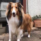 犬の保育園,一時預かり,ペットホテル,しつけ,トレーニング:犬のペットホテルPooch フィガロちゃんの写真