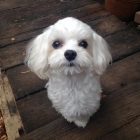犬の保育園,一時預かり,ペットホテル,しつけ,トレーニング:犬のペットホテルPooch マルちゃんの写真