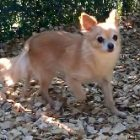 犬の保育園,一時預かり,ペットホテル,しつけ,トレーニング:犬のペットホテルPooch ゆずちゃんの写真