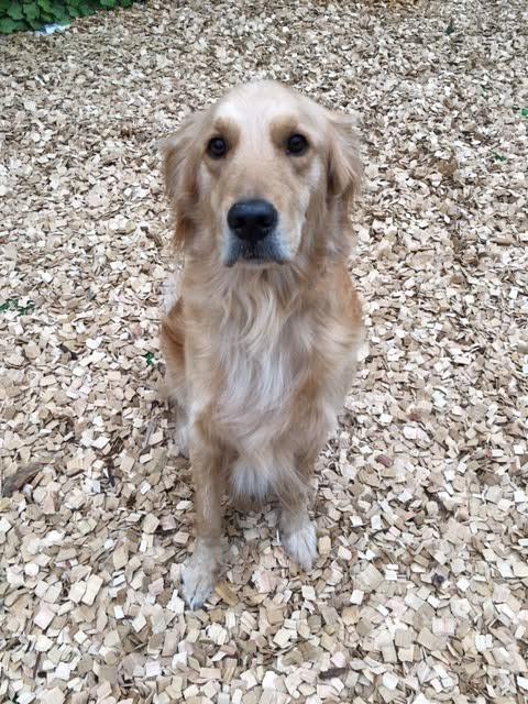 犬の保育園,一時預かり,ペットホテル,しつけ,トレーニング:犬のペットホテルPooch むぎちゃんの写真