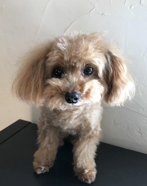 犬の保育園,一時預かり,ペットホテル,しつけ,トレーニング:犬のペットホテルPooch エンジェルちゃんの写真
