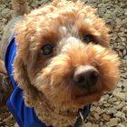 犬の保育園,一時預かり,ペットホテル,しつけ,トレーニング:犬のペットホテルPooch タローちゃんの写真