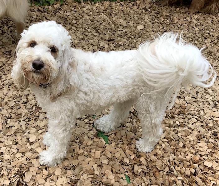 犬の保育園,一時預かり,ペットホテル,しつけ,トレーニング:犬のペットホテルPooch Millerちゃんの写真