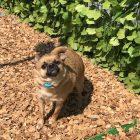 犬の保育園,一時預かり,ペットホテル,しつけ,トレーニング:犬のペットホテルPooch ココアちゃんの写真