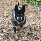犬の保育園,一時預かり,ペットホテル,しつけ,トレーニング:犬のペットホテルPooch ぴんすけちゃんの写真