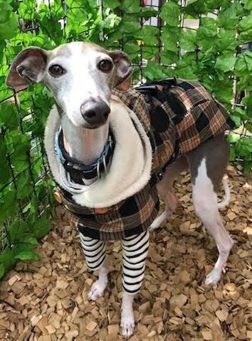 犬の保育園,一時預かり,ペットホテル,しつけ,トレーニング:犬のペットホテルPooch チョビちゃんの写真