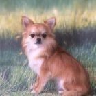 犬の保育園,一時預かり,ペットホテル,しつけ,トレーニング:犬のペットホテルPooch リリィちゃんの写真