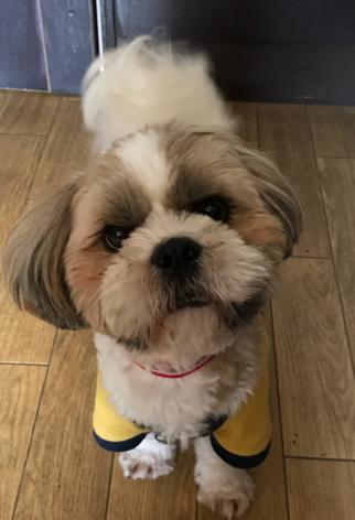 犬の保育園,一時預かり,ペットホテル,しつけ,トレーニング:犬のペットホテルPooch ムックくんの写真