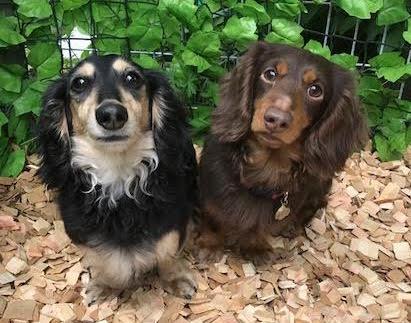 犬の保育園,一時預かり,ペットホテル,しつけ,トレーニング:犬のペットホテルPooch らいちくん&ちろくんの写真