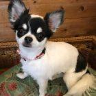 犬の保育園,一時預かり,ペットホテル,しつけ,トレーニング:犬のペットホテルPooch 小桃ちゃんの写真