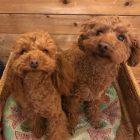 犬の保育園,一時預かり,ペットホテル,しつけ,トレーニング:犬のペットホテルPooch ルークくん&ティナちゃんの写真