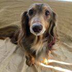 犬の保育園,一時預かり,ペットホテル,しつけ,トレーニング:犬のペットホテルPooch ちょこちゃんの写真