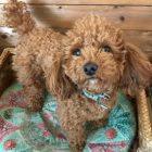 犬の保育園,一時預かり,ペットホテル,しつけ,トレーニング:犬のペットホテルPooch りくくんの写真