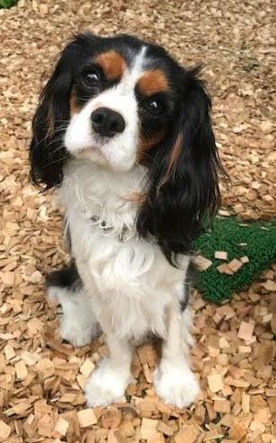 犬の保育園,一時預かり,ペットホテル,しつけ,トレーニング:犬のペットホテルPooch こはるちゃんの写真