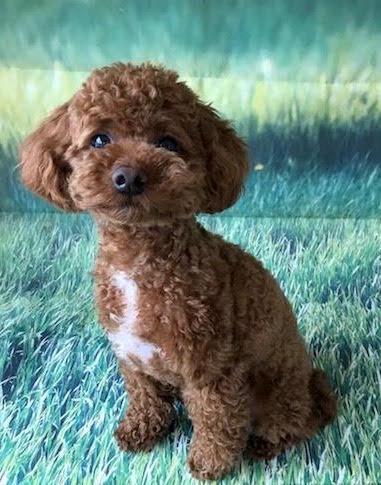 犬の保育園,一時預かり,ペットホテル,しつけ,トレーニング:犬のペットホテルPooch ソラちゃんの写真